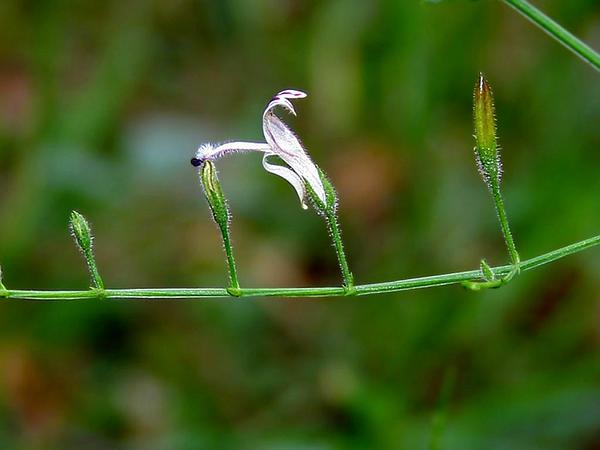 False Waterwillow (Andrographis) https://www.sagebud.com/false-waterwillow-andrographis