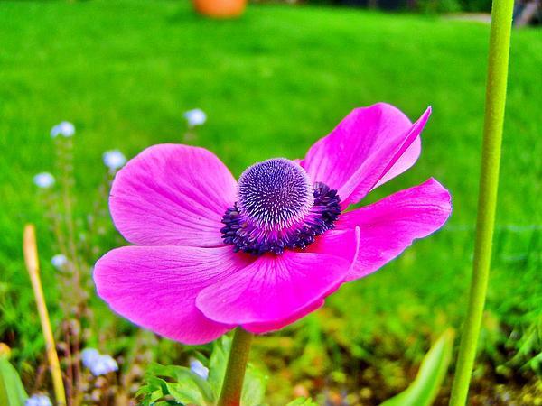 Anemone (Anemone) https://www.sagebud.com/anemone-anemone
