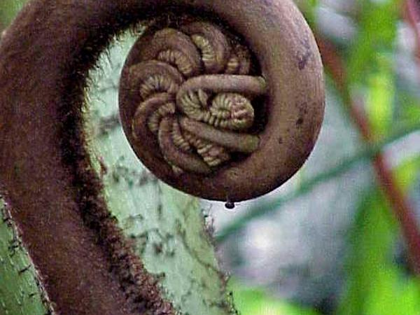 Oriental Vessel Fern (Angiopteris Evecta) https://www.sagebud.com/oriental-vessel-fern-angiopteris-evecta/