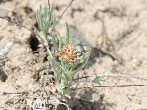 Whip Pussytoes (Antennaria Flagellaris) https://www.sagebud.com/whip-pussytoes-antennaria-flagellaris
