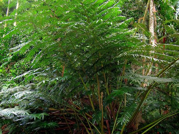 Angiopteris Fern (Angiopteris) https://www.sagebud.com/angiopteris-fern-angiopteris