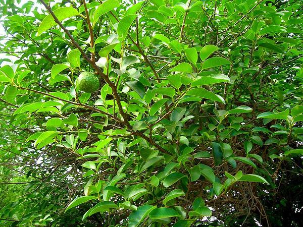 Pond Apple (Annona Glabra) https://www.sagebud.com/pond-apple-annona-glabra