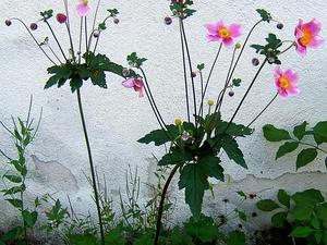 Japanese Thimbleweed