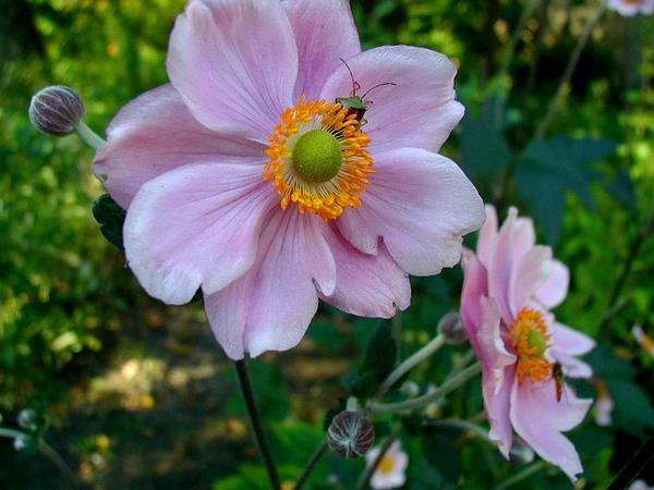 Japanese Thimbleweed (Anemone Hupehensis) https://www.sagebud.com/japanese-thimbleweed-anemone-hupehensis