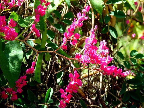 Coral Vine (Antigonon Leptopus) https://www.sagebud.com/coral-vine-antigonon-leptopus