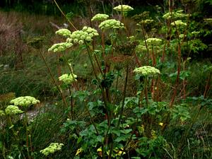 Seacoast Angelica