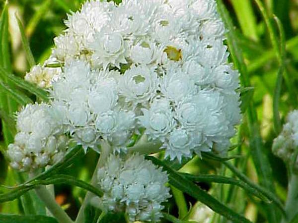 Western Pearly Everlasting (Anaphalis Margaritacea) https://www.sagebud.com/western-pearly-everlasting-anaphalis-margaritacea