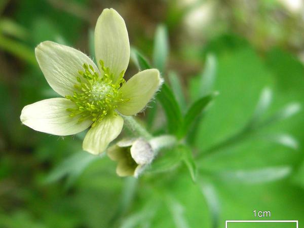 Pacific Anemone (Anemone Multifida) https://www.sagebud.com/pacific-anemone-anemone-multifida