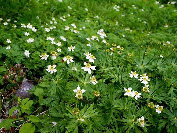 Narcissus Anemone (Anemone Narcissiflora) https://www.sagebud.com/narcissus-anemone-anemone-narcissiflora