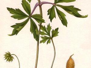 European Thimbleweed