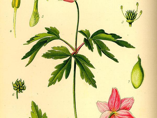 European Thimbleweed (Anemone Nemorosa) https://www.sagebud.com/european-thimbleweed-anemone-nemorosa