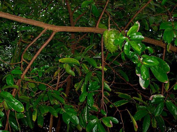Annona (Annona) https://www.sagebud.com/annona-annona