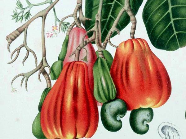 Cashew (Anacardium Occidentale) https://www.sagebud.com/cashew-anacardium-occidentale