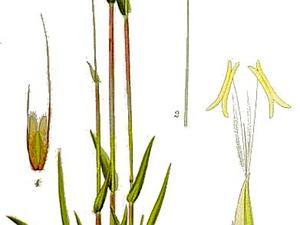 Sweet Vernalgrass