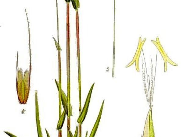 Sweet Vernalgrass (Anthoxanthum Odoratum) https://www.sagebud.com/sweet-vernalgrass-anthoxanthum-odoratum/
