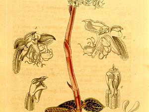 Anoectochilus