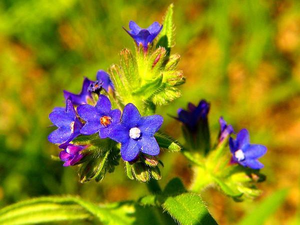 Common Bugloss (Anchusa Officinalis) https://www.sagebud.com/common-bugloss-anchusa-officinalis