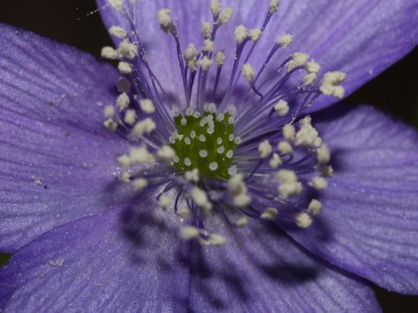 Blue Windflower (Anemone Oregana) https://www.sagebud.com/blue-windflower-anemone-oregana