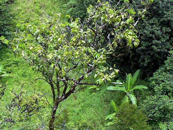 Ha'A (Antidesma Platyphyllum) https://www.sagebud.com/haa-antidesma-platyphyllum