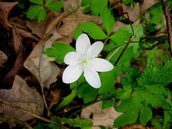 Wood Anemone (Anemone Quinquefolia) https://www.sagebud.com/wood-anemone-anemone-quinquefolia