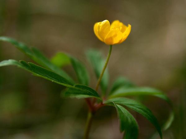 Yellow Woodland Anemone (Anemone Ranunculoides) https://www.sagebud.com/yellow-woodland-anemone-anemone-ranunculoides