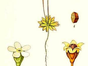 Pygmyflower Rockjasmine