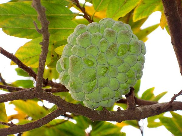 Sugar Apple (Annona Squamosa) https://www.sagebud.com/sugar-apple-annona-squamosa