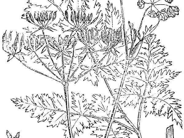 Wild Chervil (Anthriscus Sylvestris) https://www.sagebud.com/wild-chervil-anthriscus-sylvestris/