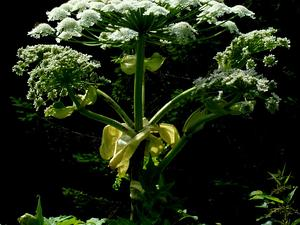 Woodland Angelica