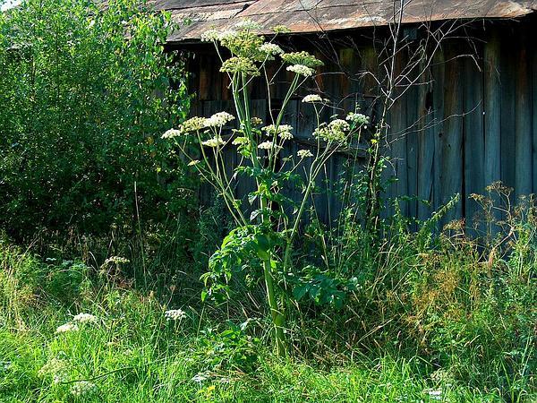 Woodland Angelica (Angelica Sylvestris) https://www.sagebud.com/woodland-angelica-angelica-sylvestris/