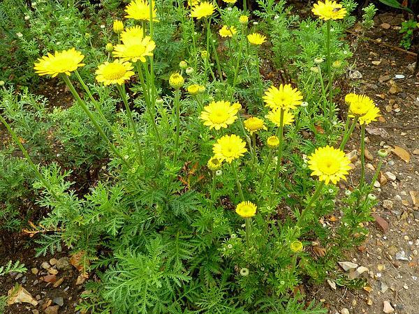 Chamomile (Anthemis) https://www.sagebud.com/chamomile-anthemis
