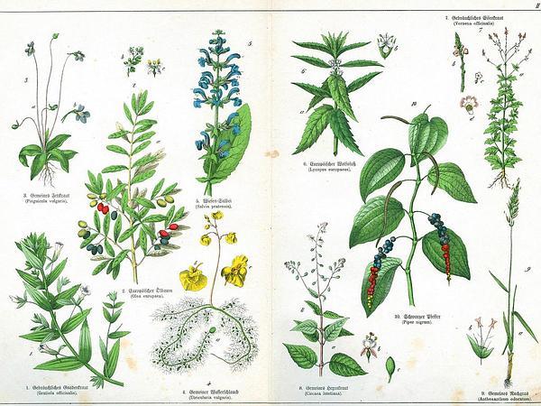 Hornwort (Anthoxanthum) https://www.sagebud.com/hornwort-anthoxanthum