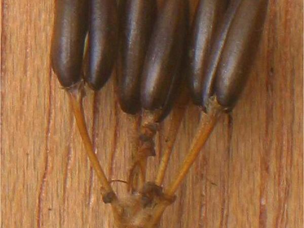 Chervil (Anthriscus) https://www.sagebud.com/chervil-anthriscus/