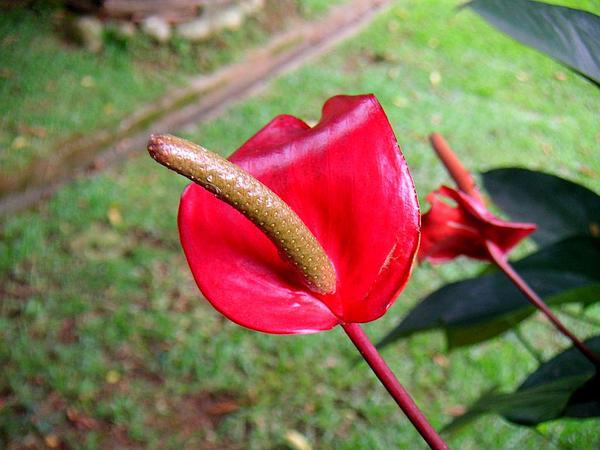 Laceleaf (Anthurium) https://www.sagebud.com/laceleaf-anthurium