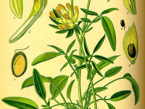 Kidneyvetch (Anthyllis) https://www.sagebud.com/kidneyvetch-anthyllis