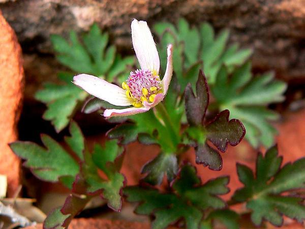 Tuber Anemone (Anemone Tuberosa) https://www.sagebud.com/tuber-anemone-anemone-tuberosa