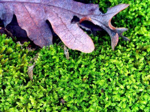 Anomodon Moss (Anomodon Viticulosus) https://www.sagebud.com/anomodon-moss-anomodon-viticulosus