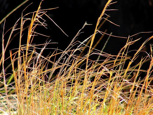 Broomsedge Bluestem (Andropogon Virginicus) https://www.sagebud.com/broomsedge-bluestem-andropogon-virginicus