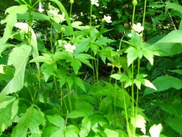 Tall Thimbleweed (Anemone Virginiana) https://www.sagebud.com/tall-thimbleweed-anemone-virginiana