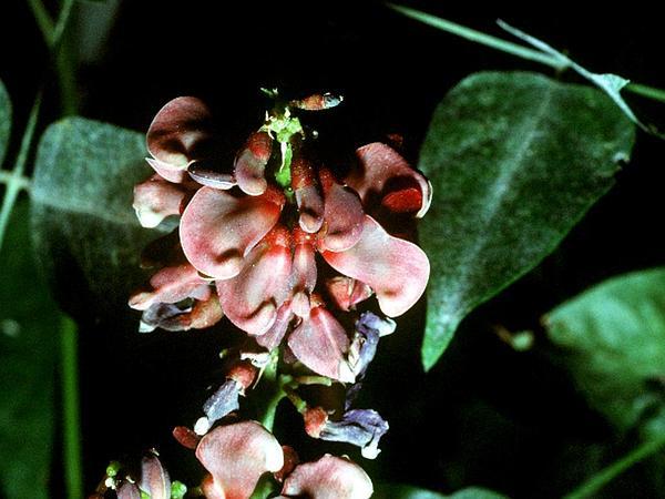 Groundnut (Apios Americana) https://www.sagebud.com/groundnut-apios-americana