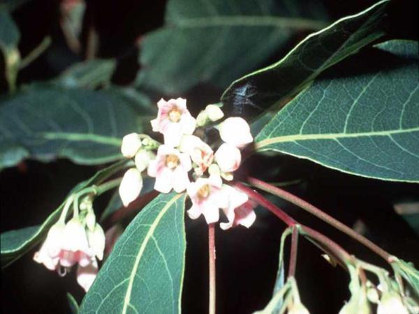 Spreading Dogbane (Apocynum Androsaemifolium) https://www.sagebud.com/spreading-dogbane-apocynum-androsaemifolium