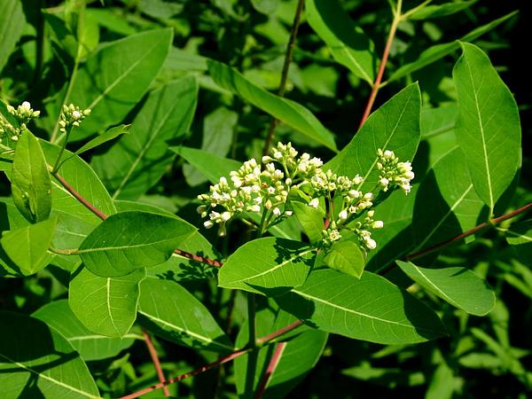 Indianhemp (Apocynum Cannabinum) https://www.sagebud.com/indianhemp-apocynum-cannabinum
