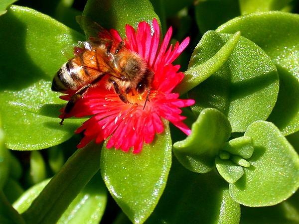 Heartleaf Iceplant (Aptenia Cordifolia) https://www.sagebud.com/heartleaf-iceplant-aptenia-cordifolia