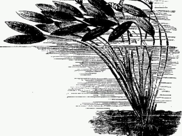 Cape Pondweed (Aponogeton Distachyos) https://www.sagebud.com/cape-pondweed-aponogeton-distachyos/