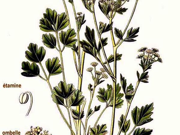 Wild Celery (Apium Graveolens) https://www.sagebud.com/wild-celery-apium-graveolens