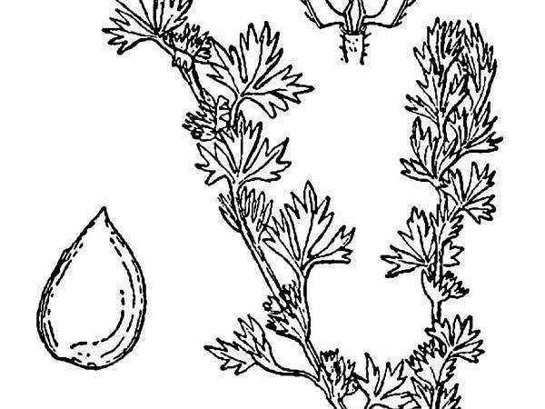 Parsley Piert (Aphanes) https://www.sagebud.com/parsley-piert-aphanes/
