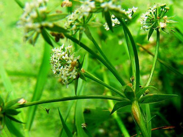 Creeping Marshwort (Apium Repens) https://www.sagebud.com/creeping-marshwort-apium-repens
