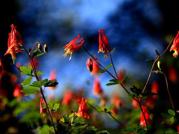 Red Columbine (Aquilegia Canadensis) https://www.sagebud.com/red-columbine-aquilegia-canadensis