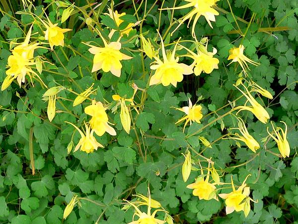 Golden Columbine (Aquilegia Chrysantha) https://www.sagebud.com/golden-columbine-aquilegia-chrysantha