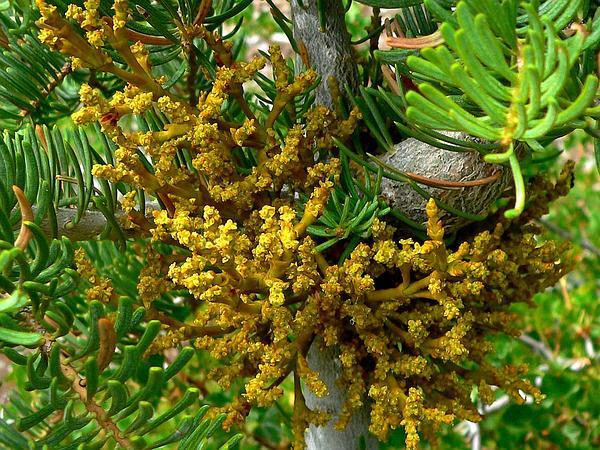 Fir Dwarf Mistletoe (Arceuthobium Abietinum) https://www.sagebud.com/fir-dwarf-mistletoe-arceuthobium-abietinum